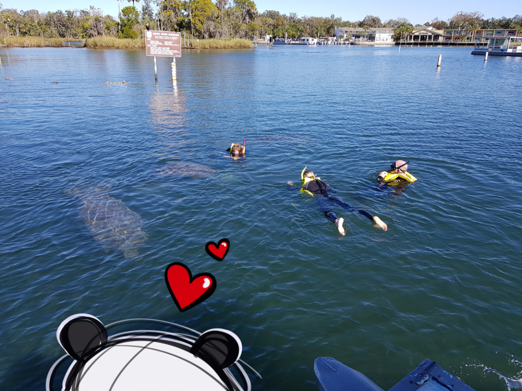 Mister Wong, snorkelling with manatees in Crystal River, Florida.