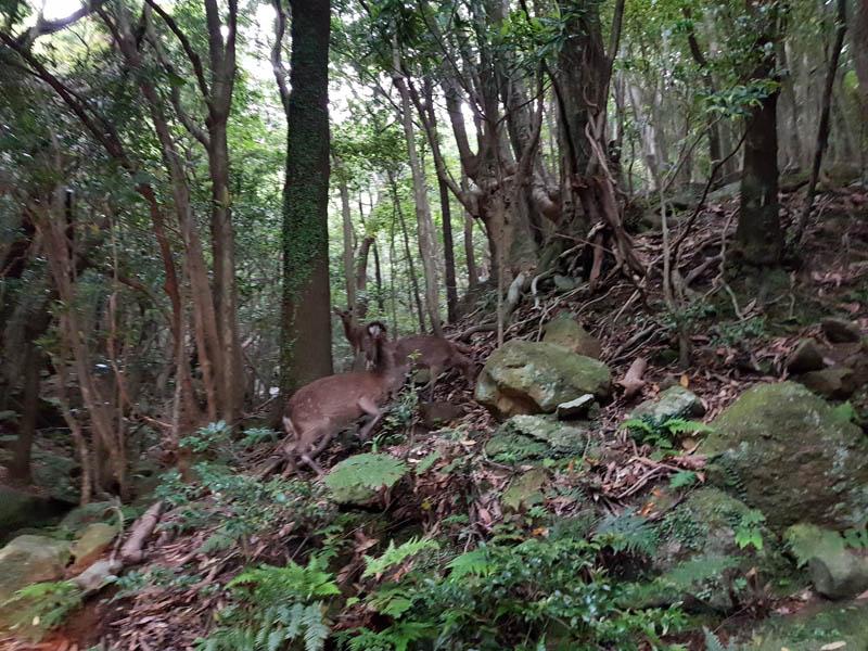 Yakushima deer in Yakushima Island National Park, Kyushu, Kagoshima, Japan